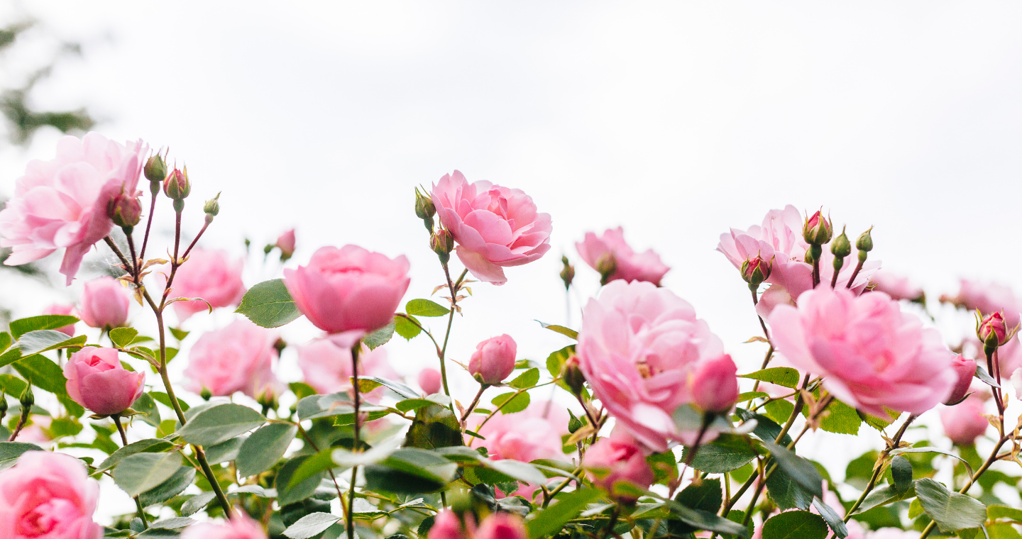 Evergreen trees topped with snow