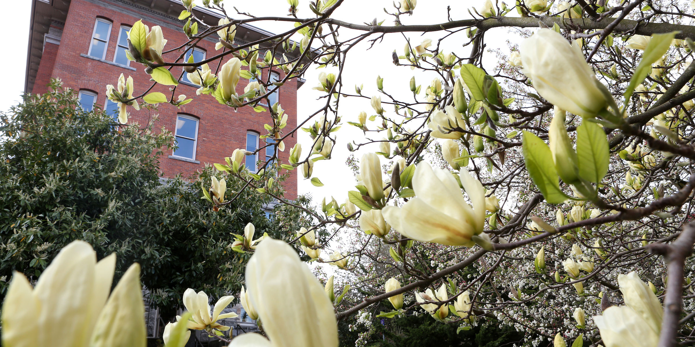 tulip magnolia blossoms in front of Garrand