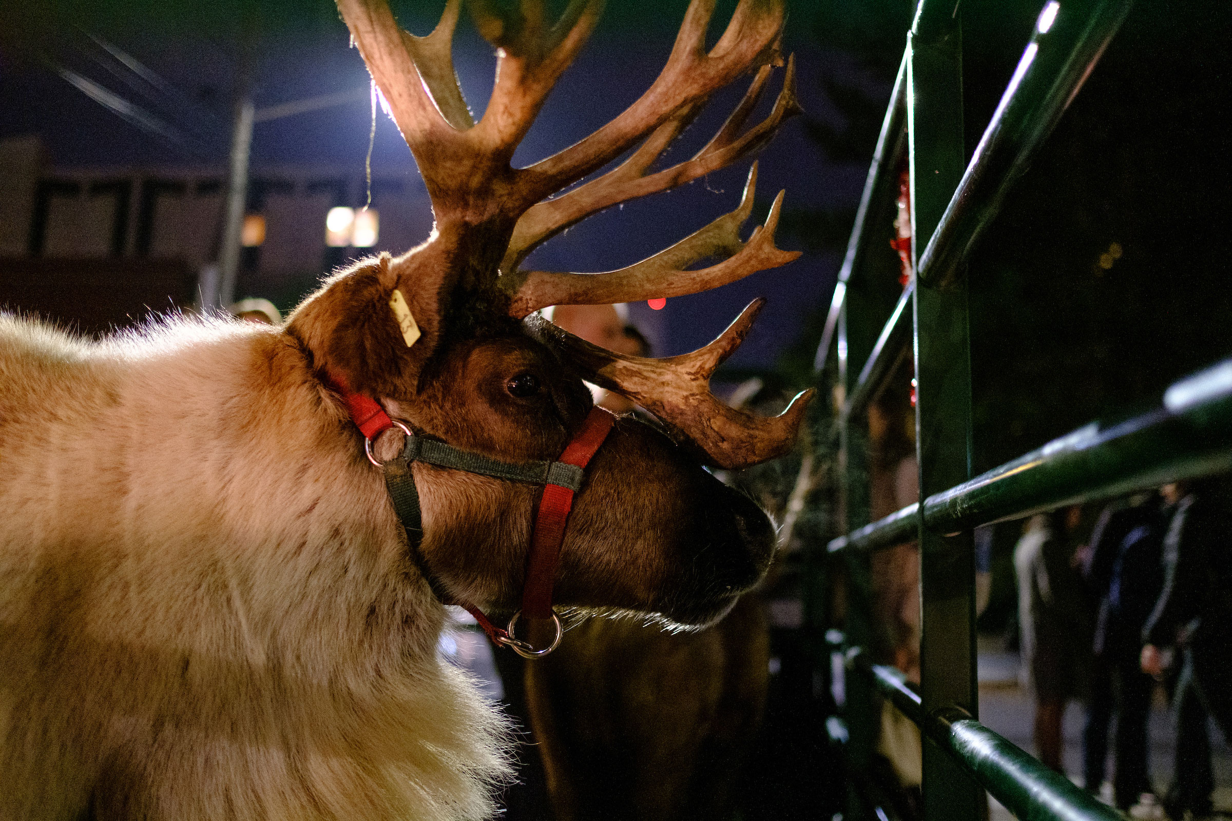 profile shot of a reindeer on campus