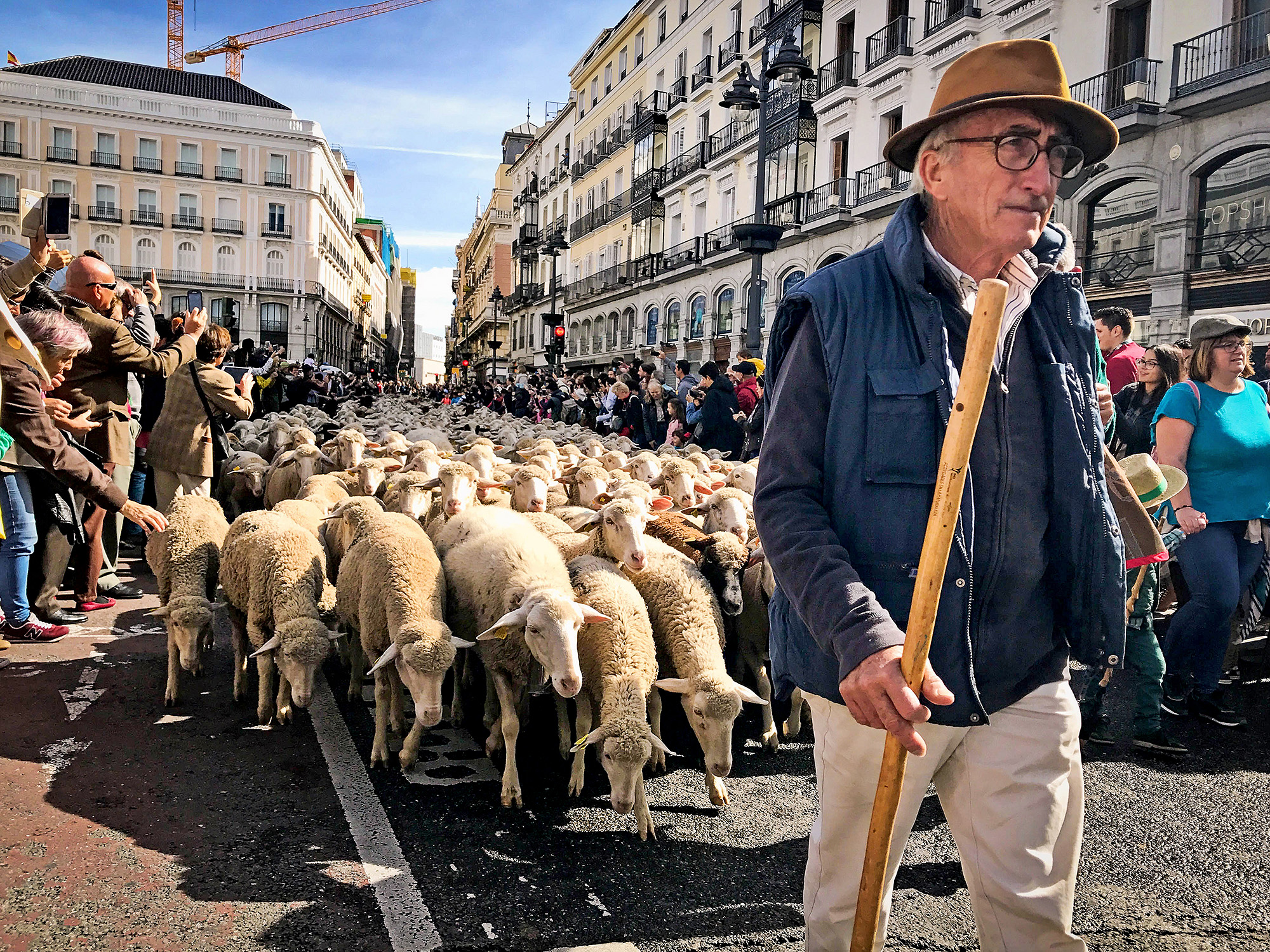 shepherd and his sheep move through streets of Madrid while tourists snap photos